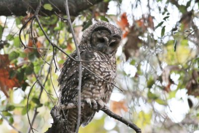 Spotted Owl Full Image