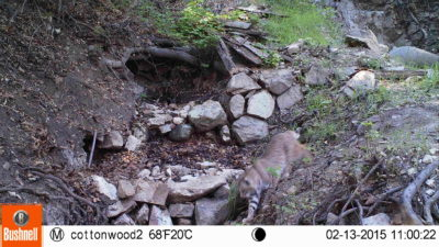 Bobcat in Cottonwood Canyon