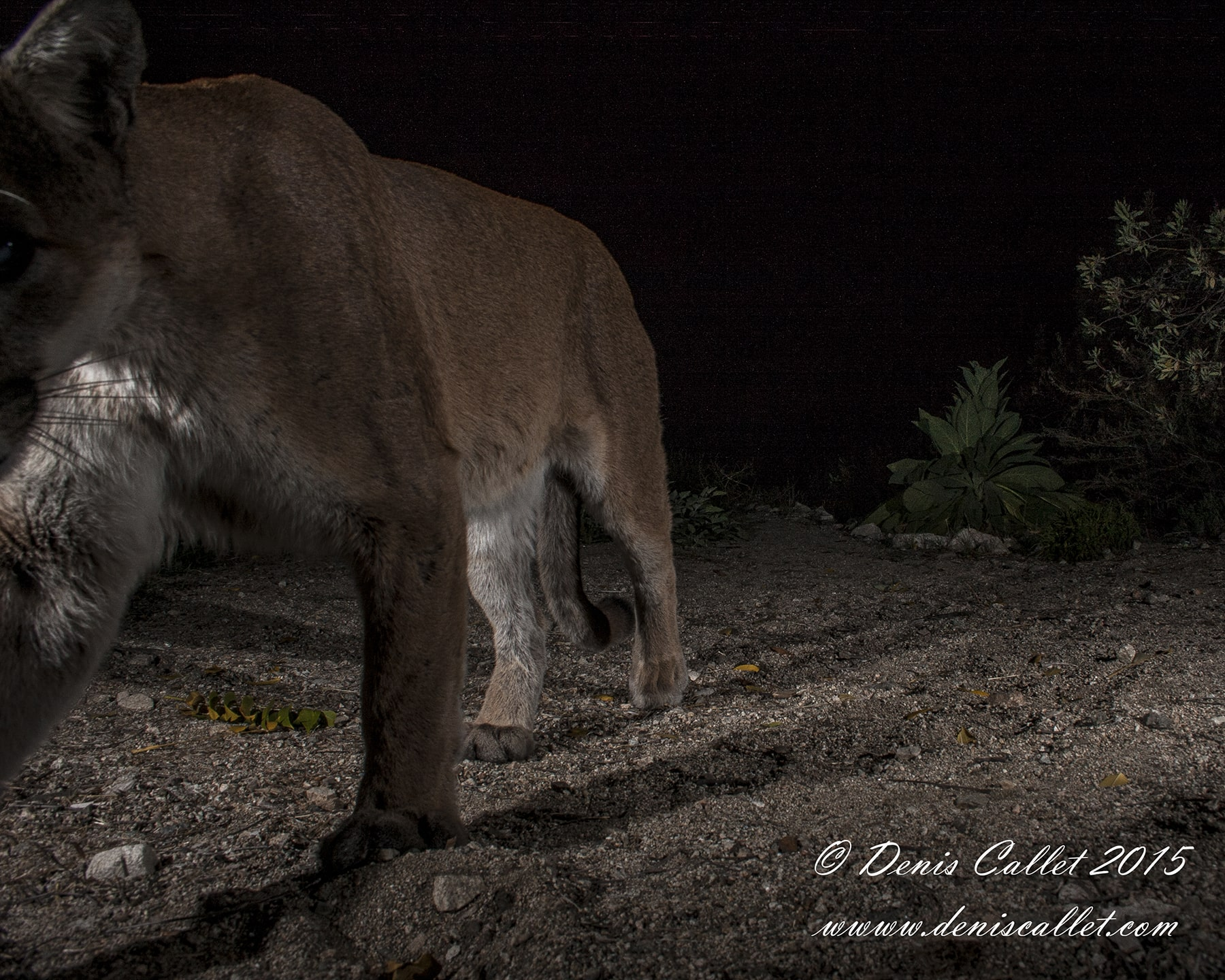 Rosemont Mountain Lion