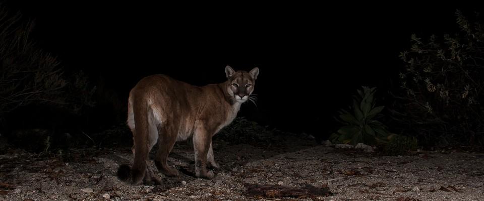 Cougar, P41