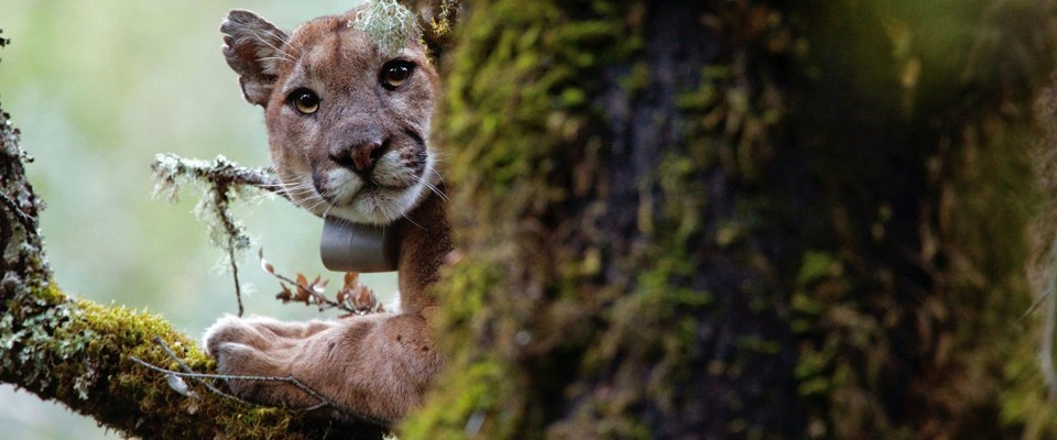 California Mountain Lions
