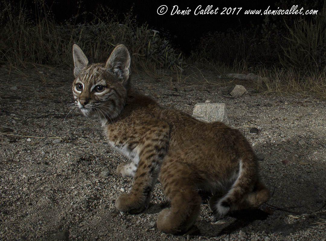 Rosemont Baby Bobcat