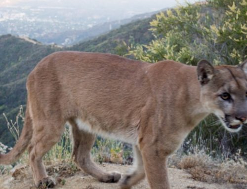 Welcome the New Mountain Lion in the Verdugos