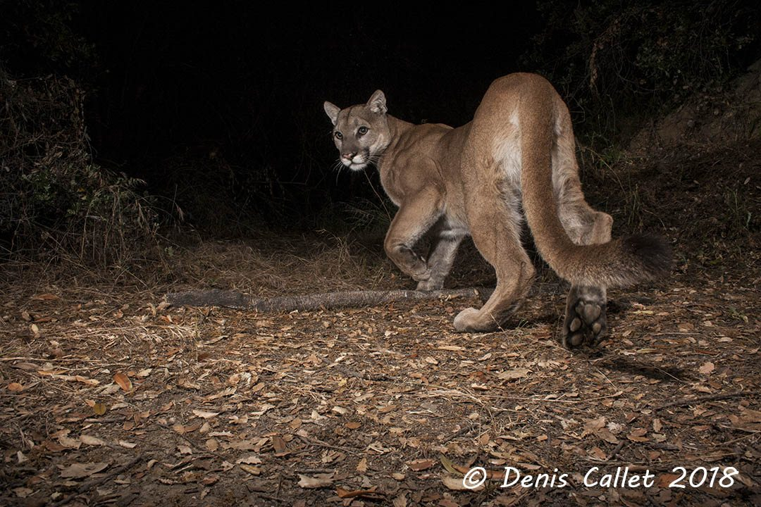 Mountain Lion in the Verdugos Image 2