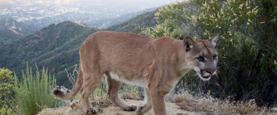 Mountain Lion in the Verdugos