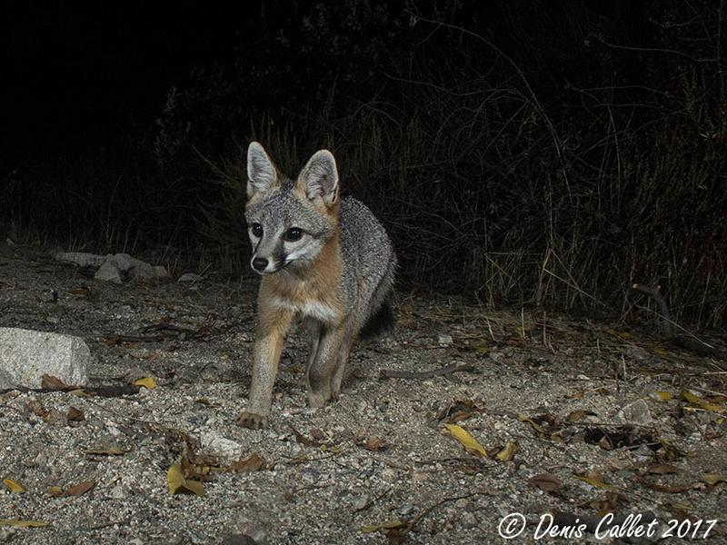 Fox in Rosemont Preserve