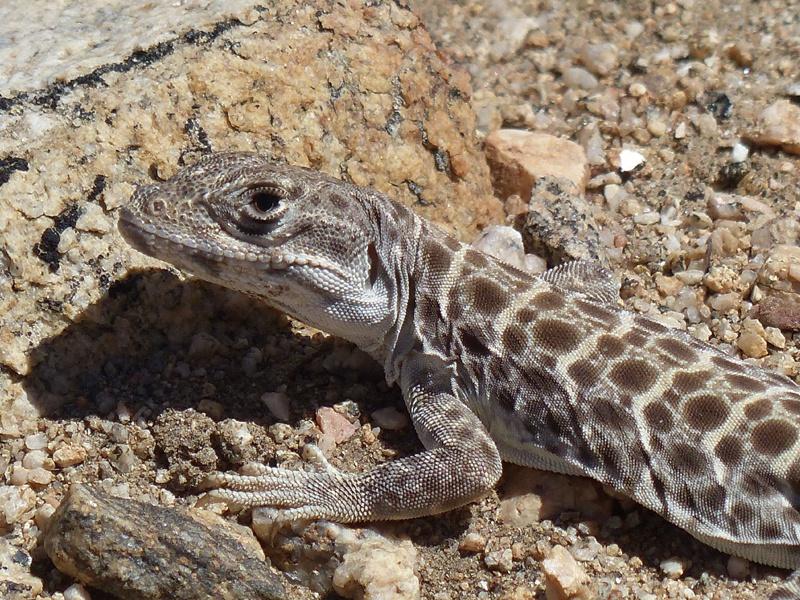Leopard Lizard - Piñon Hills Reserve