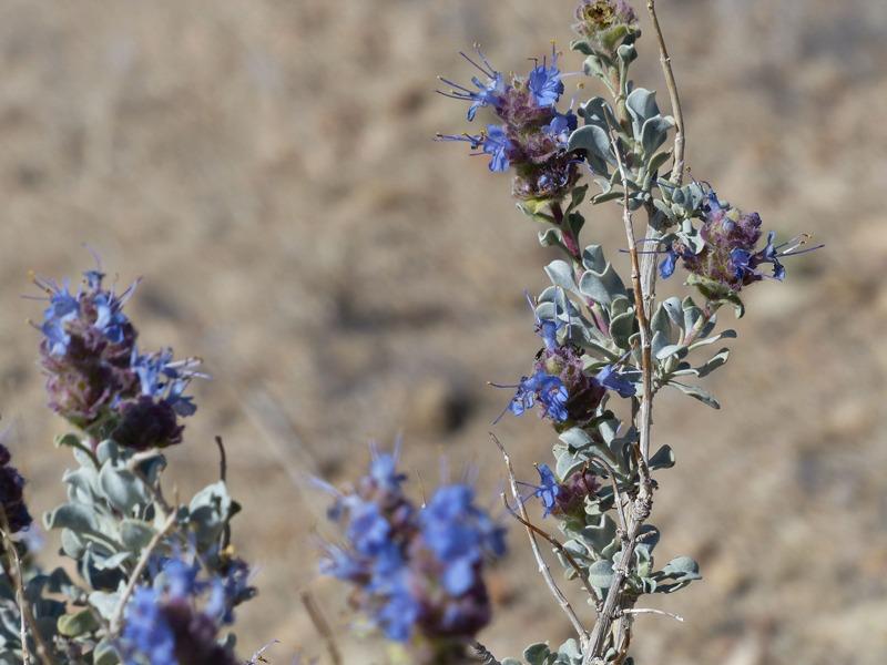 Mimulus Fremontii - Piñon Hills Reserve (2)