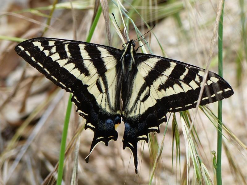 Pale Swallowtail at Rubio Canyon