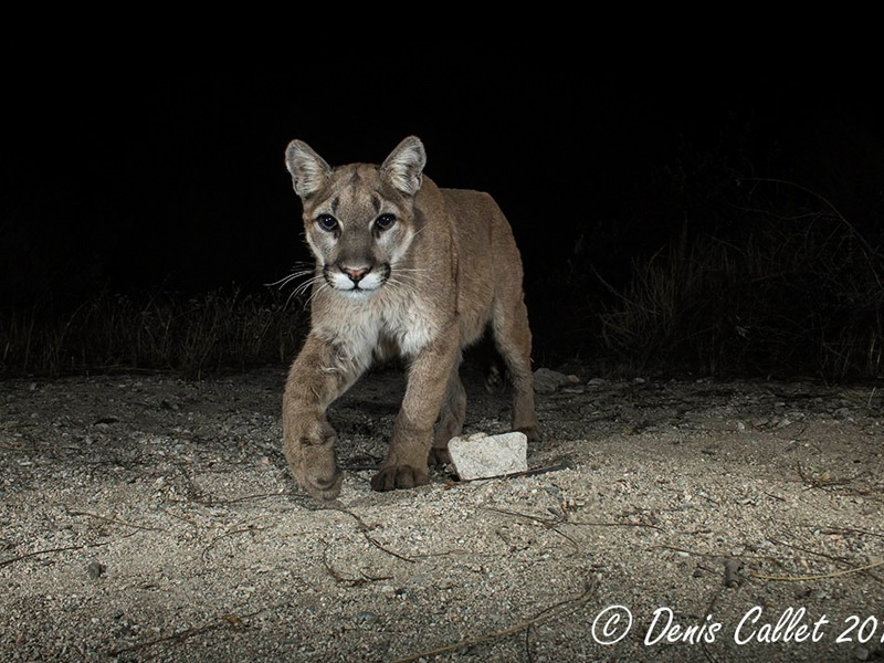 Rosemont Preserve Mountain Lion