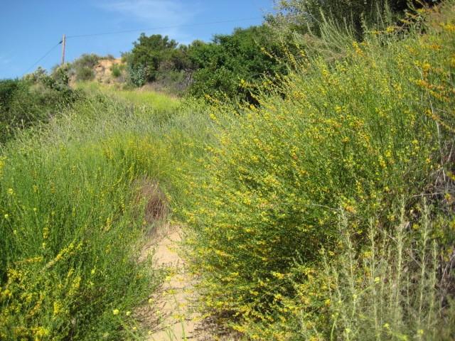 Deerweed on Alzada Trail